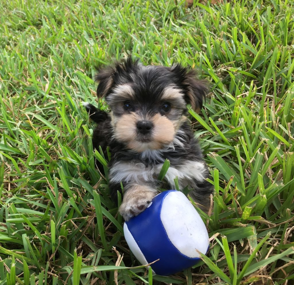 yorkie maltese puppy for sale morkie or a maltese yorkie puppies for sale in ocala 7245