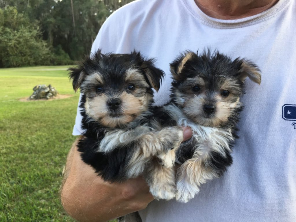 yorkie maltese puppy for sale tiny morkie or maltese yorkie pups for sale florida 2285
