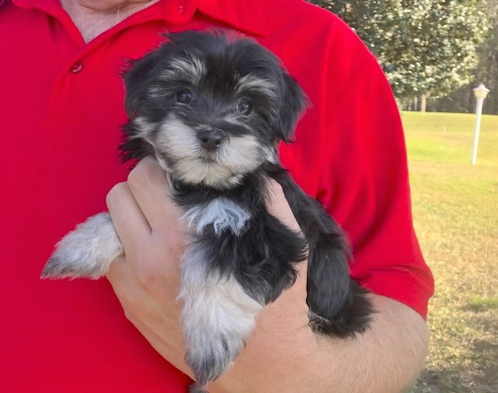 Beautiful Female Black And Silver Morkies In Florida Micheline S Pups