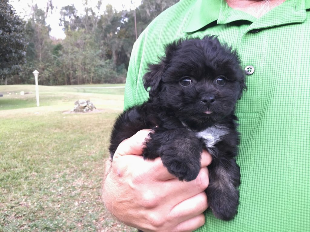 Shih Poo Pups In Ocala Florida Cuddles Michelines Pups