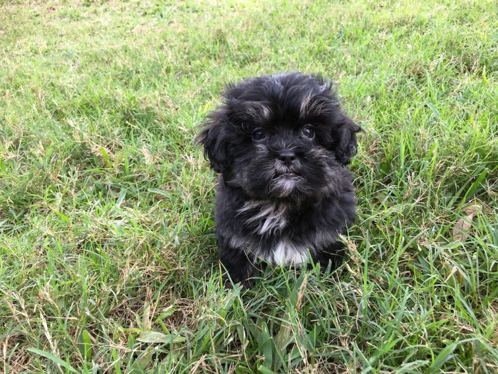 shih tzu puppies for sale in florida shih tzu poodle pups for sale florida michelines pups4 2080