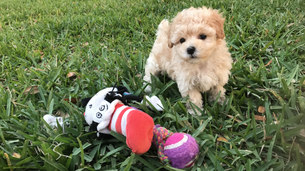 maltipoo pups florida michelines pups1