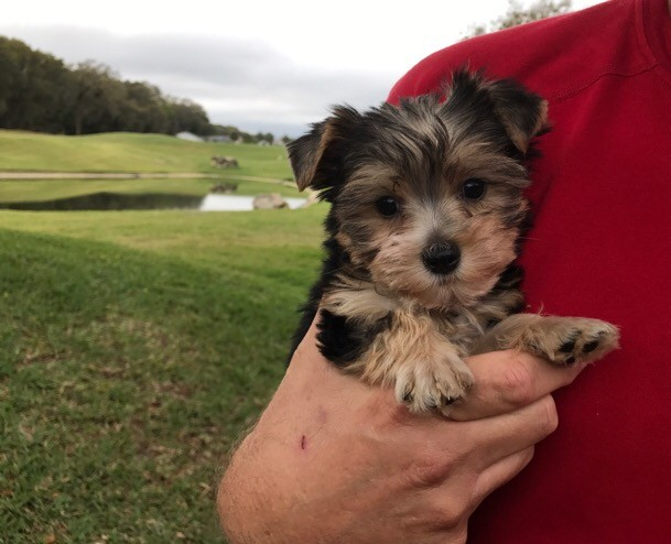 black and tan yorkie poo for sale -  u0026quot benji u0026quot