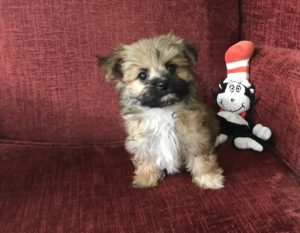 Morkie pups for sale Ocala Florida Michelines Pups03
