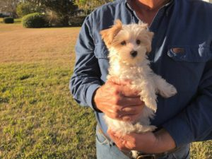gorgeous biewer yorkie michelines pups florida1