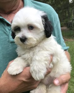 Maltipoos for sale ocala florida michelines pups10