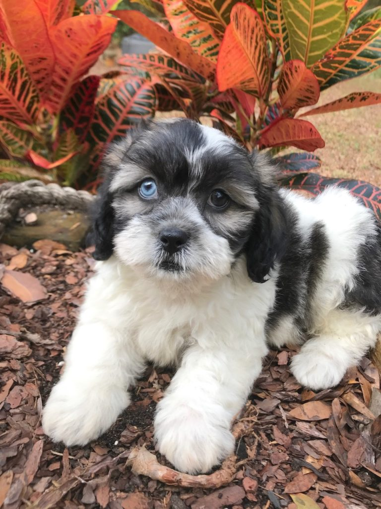 gorgeous cream shih poo pups micheline ocala florida1
