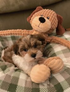 Biewer Yorkie michelines pups florida2