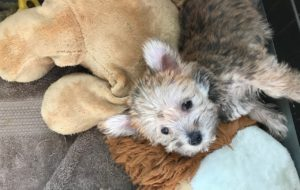 Morkie for sale michelines pups florida01