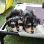 Maltese Yorkie Pups Micheline Florida black and tan1