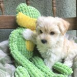Morkie pups florida micheline1