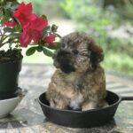 Morkie Michelines Pups 2020