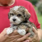 Morkie pups florida Micheline